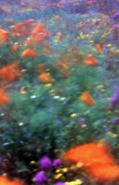 Poppies in the Wind 8<br /> Film originated photo.<br /> 14x20, 28x40 or 35x50 ...