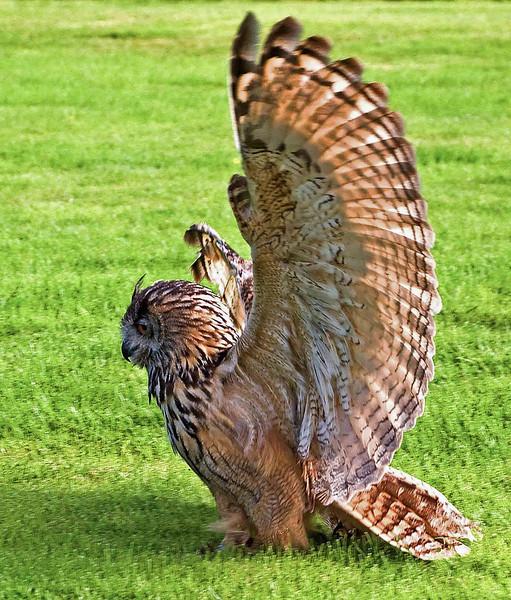 Photo by Lyn Fishlock - Nikon D80 - Eagle Owl