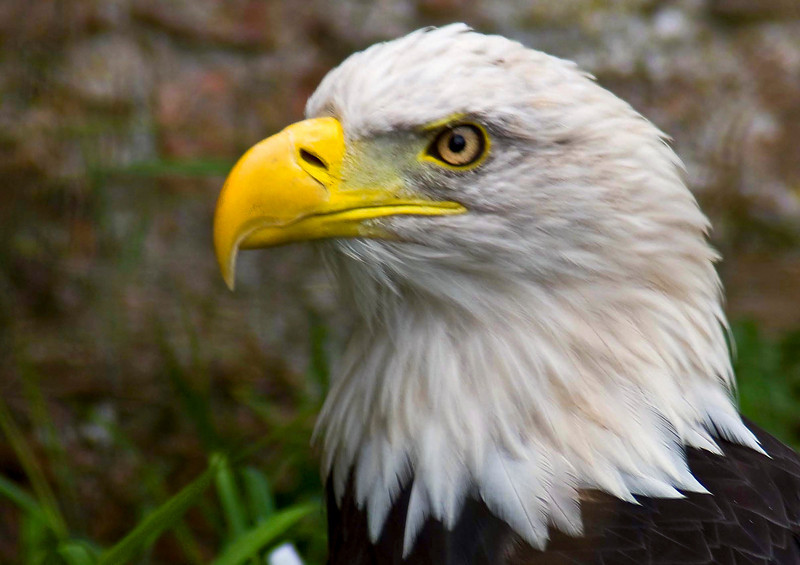 Photo by Lyn Fishlock - Nikon D80 - Bald Eagle