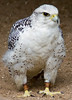 Photo by Lyn Fishlock - Nikon D80 - Gyr Falcon