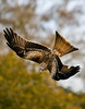 Red Kite - Photo by Steve Czwortek, Peterborough