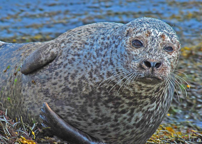 Photo by Lyn Fishlock - Seal at Glengarriff