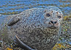 Photo by Lyn Fishlock - Seal at Glengarriff