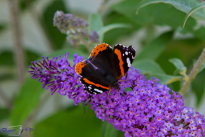 Red Admiral Butterfly 240716