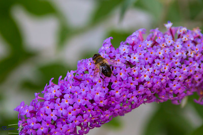 Honey Bee 240716 Home