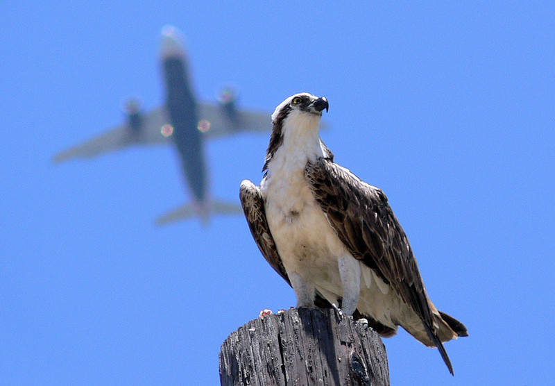 Osprey on the Flight Path, Newport Beach Back Bay, July 8 2006.