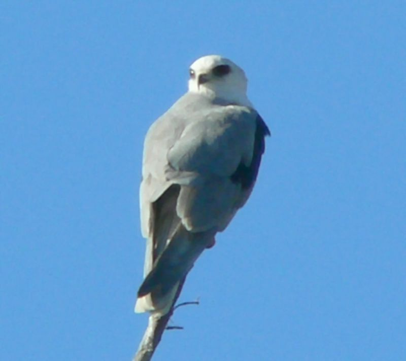 White-Tailed (or Black-Shouldered) Kite, Harbor Park, CA