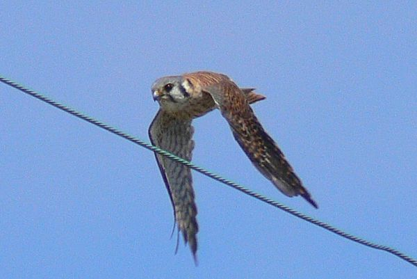 The female Kestrel once again....