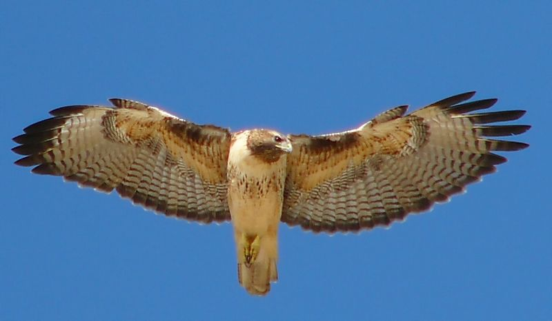 "Red-tailed Hawk ""kiting"", Point Fermin, San Pedro,  California"
