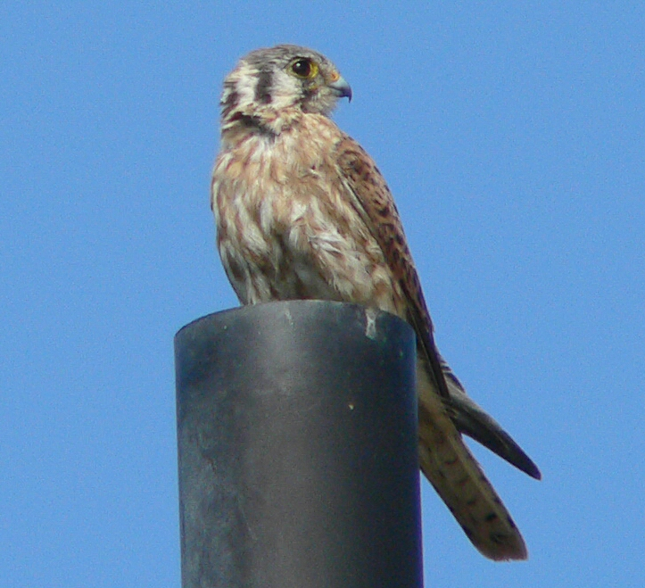 Here's the female mate to the preceding male Kestrel, Oct 2, 2005.
