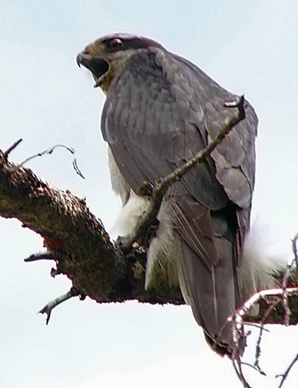 The magnificent northern goshawk on the West Marys River Trail, Jarbidge Wilderness, northeast Nevada