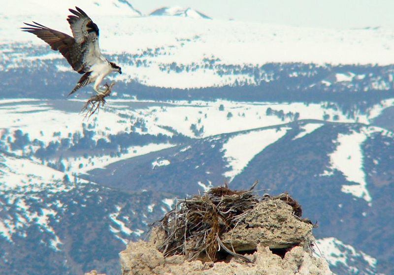 Osprey building a nest on Mono Lake tufa tower, eastern California.