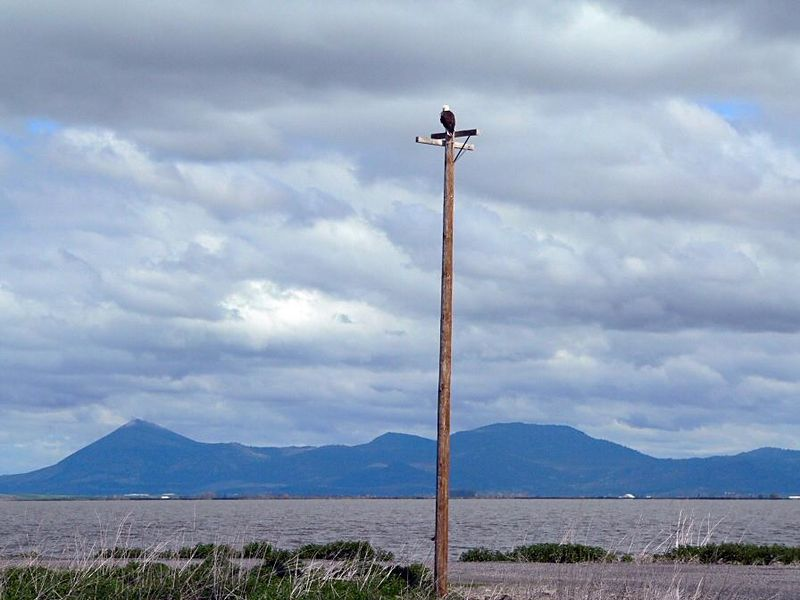 Regal Bald Eagle on top of utility pole, Tule Lake Nat'l Wildlife Refuge along the California/Oregon border.