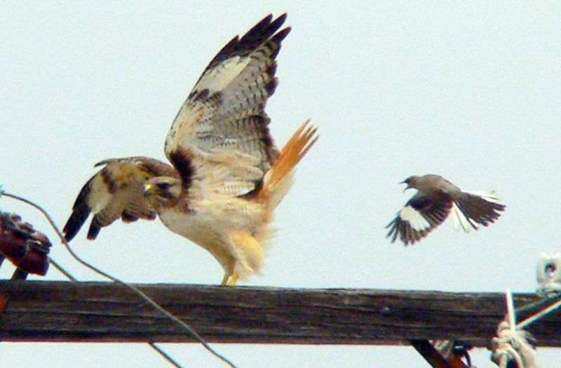 Red-tail being harried by a mockingbird, San Pedro, CA