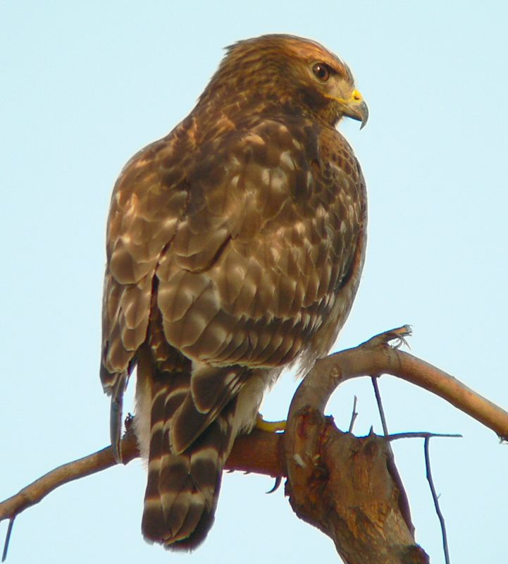 Hawkeye the Red-Shouldered Hawk taken Jan 15 2005 near Cabrillo Beach, LA, CA