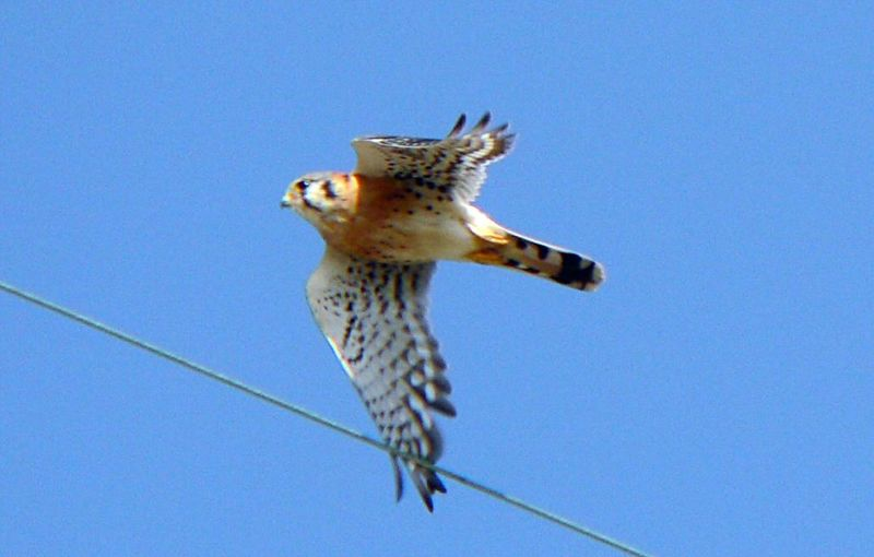 Male Kestrel in flight, Angels Gate, San Pedro, CA, Oct 2 2005.