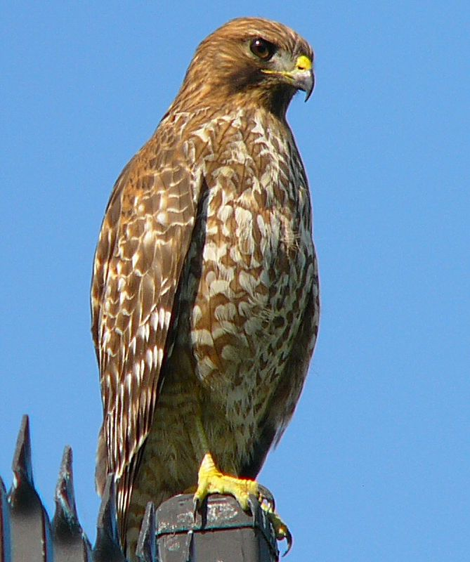 Hawkeye, the Red-Shouldered Hawk.