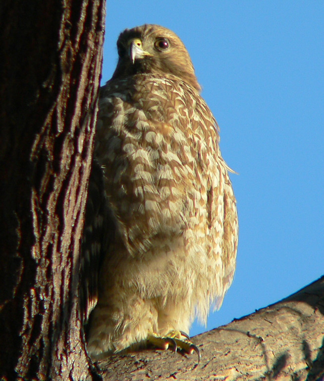 Early-morning with Hawkeye the Red-Shouldered hawk.