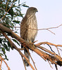 A closer view of the same juvenile Cooper's Hawk at Angels Gate...