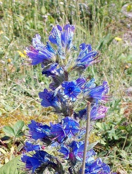 Blueweed01