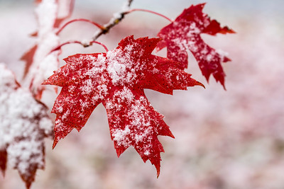 Fresh Snow on Maple Leaves
