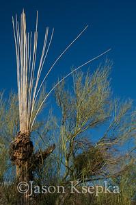 """Carnegiea gigantea, Saguaro Cactus """"bones""""; Sonoran Desert, Pima County, Arizona 2009-08-15 4"""