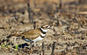 Killdeer feeding