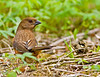 Eastern Towhee ( Female )