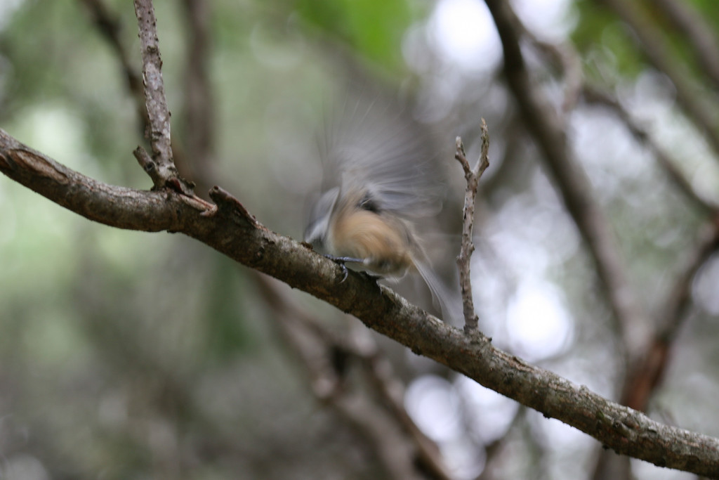 Chickadee, taking flight...