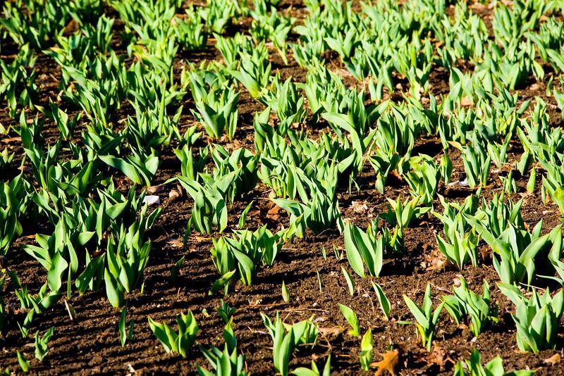 Tulips on the way