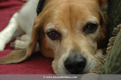 Tooky's beagle, Marly.