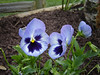 Our Yard <br /> Ah, Pansy\'s