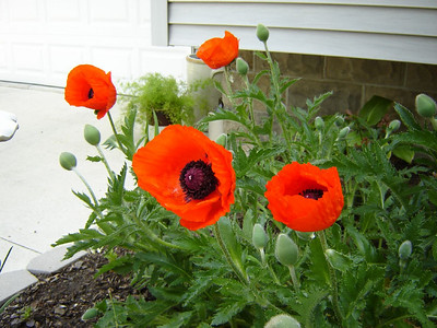 """Our Yard  """"Poppies"""""""
