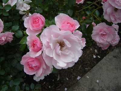 Our Yard  Four morning roses ready to open