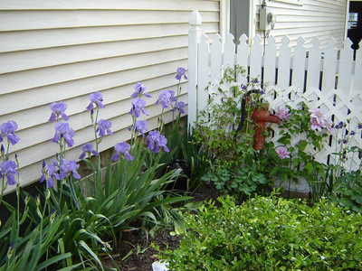 Garden  It took three years, but the Clamatis  and Iris\'s have come of age in the side garden