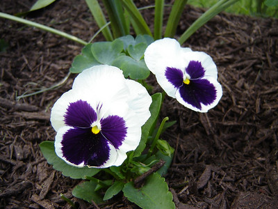 Our Yard  Pansy\'s