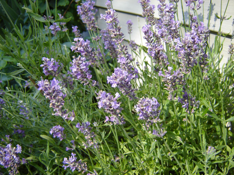 Our Yard <br /> Lavender in Bloom