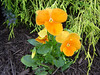 Our Yard <br /> My Favorite, Orange Pansy\'s