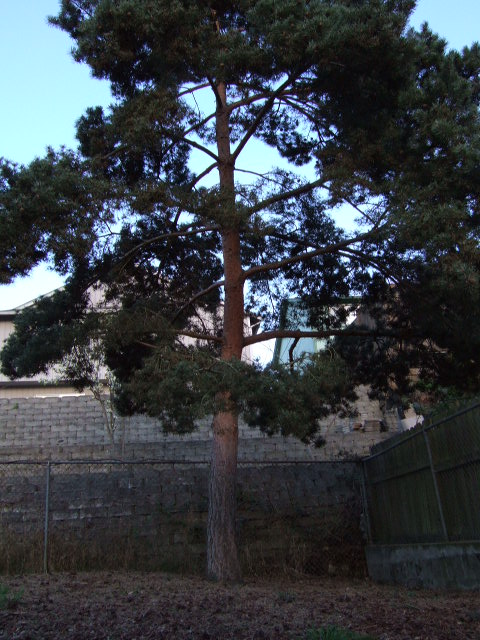 This is the tree in our backyard.  Looks much better now that the blackberry branches and dead branches have been removed.