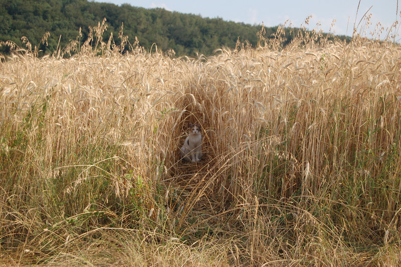 Cat in a wheat field up the farm road from our house.
