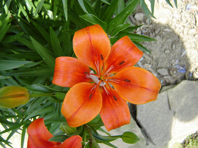 Our Yard  Lilys