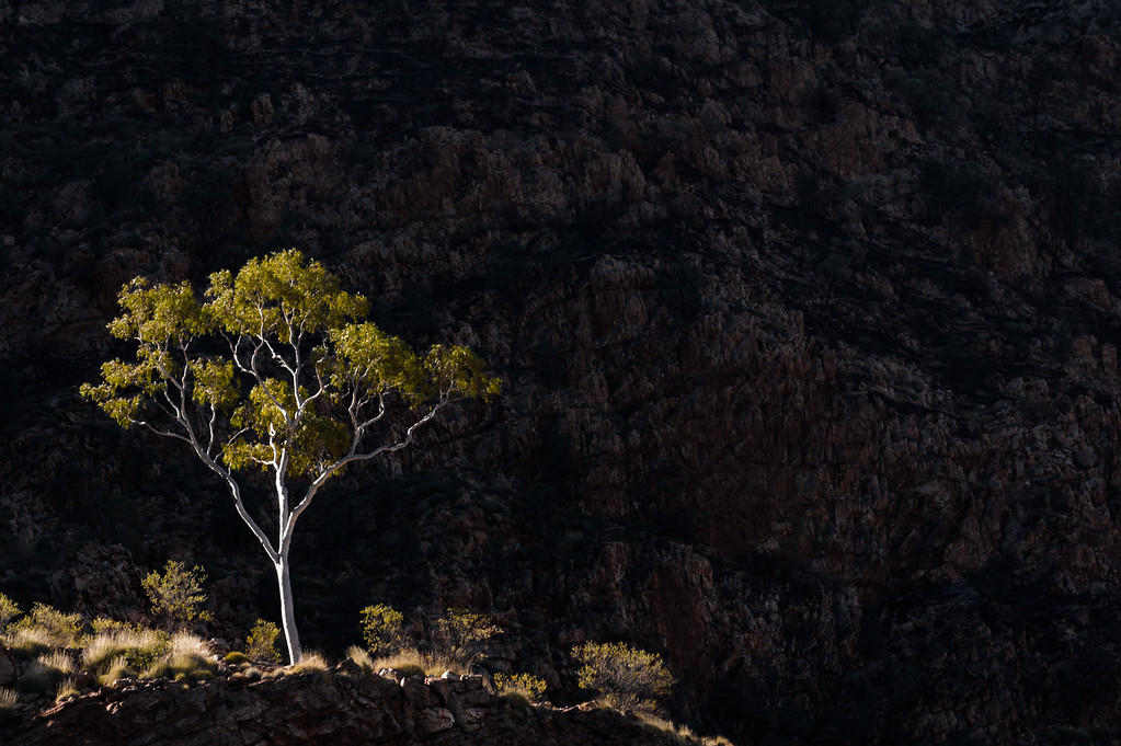 a lonely eukalyptus tree lit by the setting sun