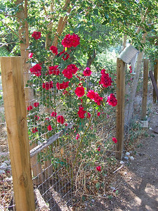 Roses that welcomed us by the front gate.