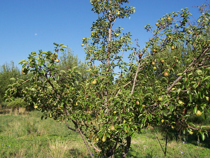Most of the apples won't be in season until Fall but some are producing now.