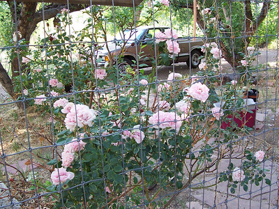 More front gate roses.