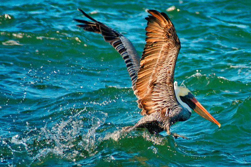 Pelican Fishing in the Oregon Inlet