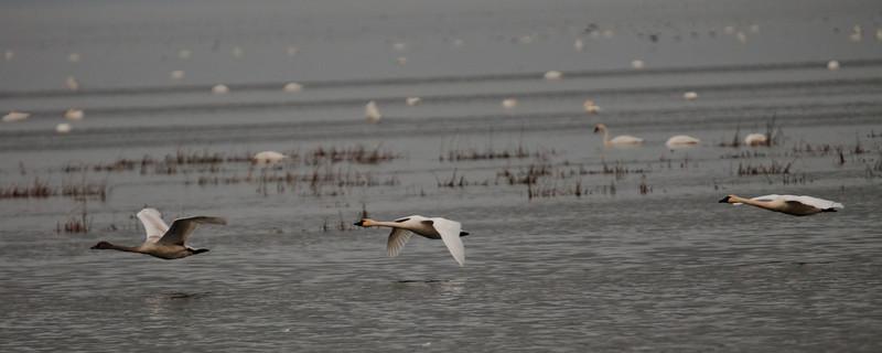 Three Swans A-Landing