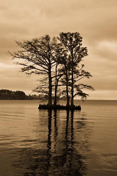 Cypress Trees in Edenton Harbor