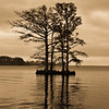 Cypress Trees in Edenton Harbor