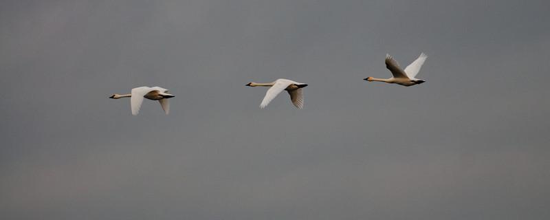 Three Swans A-Flying